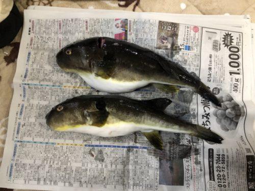マフグが2匹釣れました。